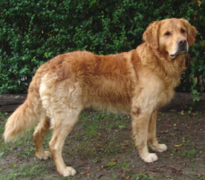 golden retriever - doublecoat