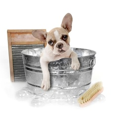 french bulldog in antique tub