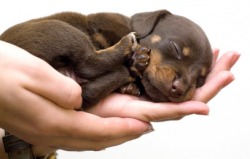 tiny sleeping puppy in hands